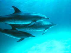 ...делфините в Северното полукълбо плуват в посока, обратна на часовниковата стрелка, а тези в Южното полукълбо - по посока...